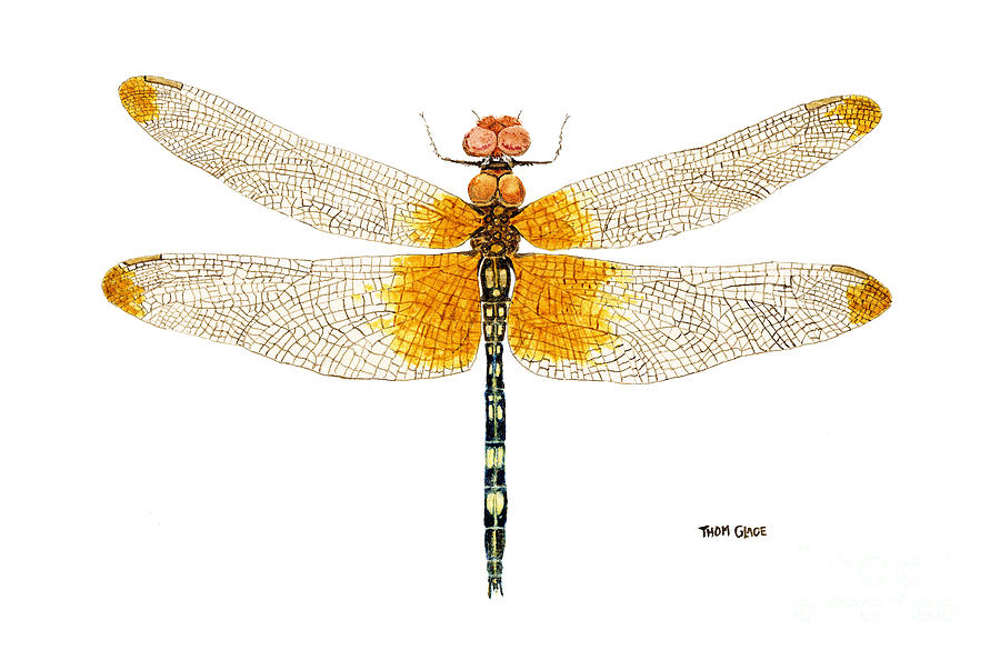 Dragonfly Painting - Study Of A Male Checkered Setwing by Thom Glace