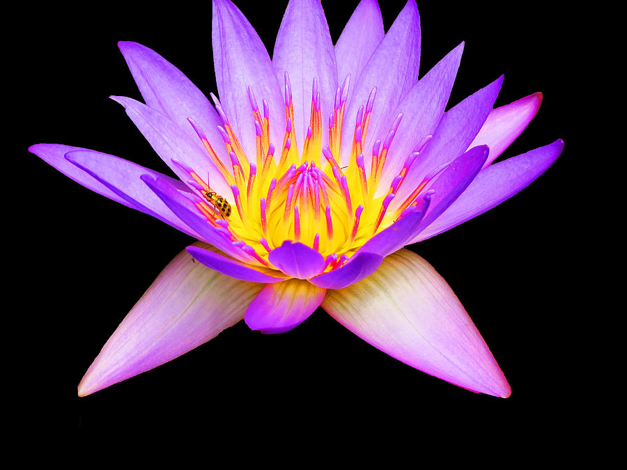 Waterlily Photograph - Stunning Waterlily by Vijay Sharon Govender