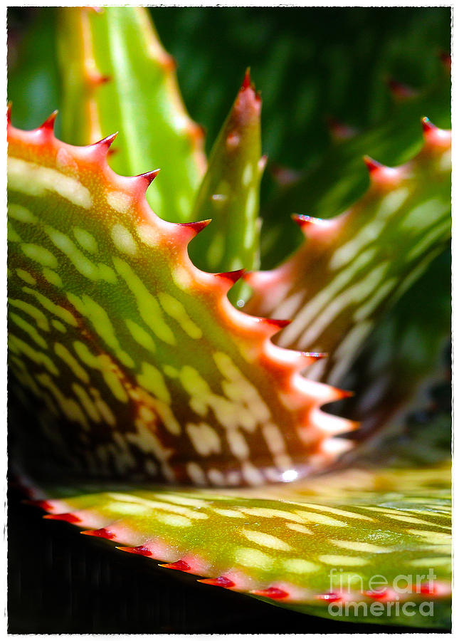 Succulent Photograph - Succulents With Spines by Judi Bagwell