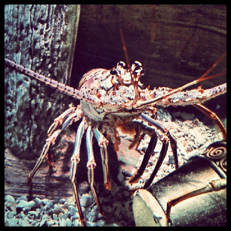 Creation Photograph - Suddenly, I Want Seafood.... #lobster by Kel Hill