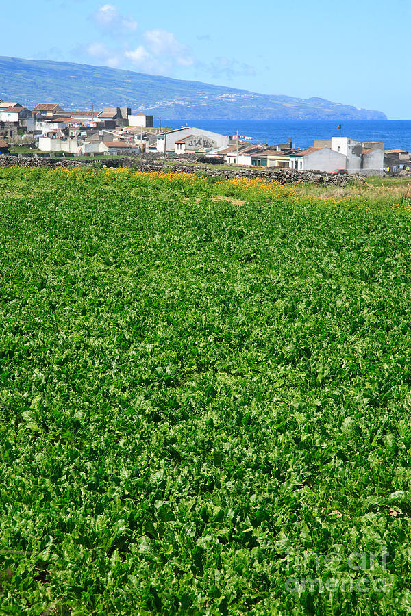 Green Photograph - Sugarbeet Field by Gaspar Avila