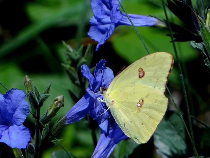 Sulphur Butterfly On Wildflower Photograph by Betty Berard