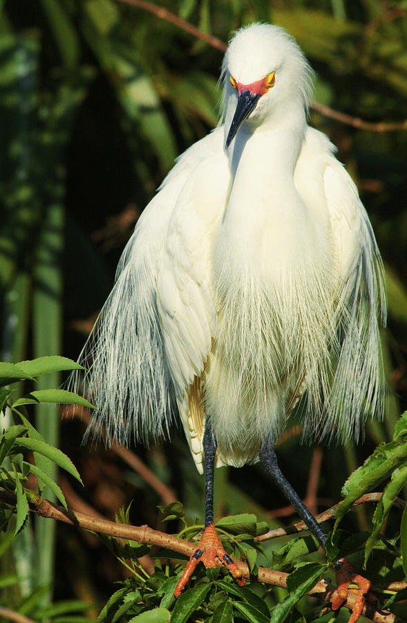 Snowy Egret Photograph - Sultry Snowy by Betty Carol Parker