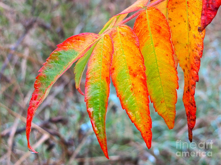Sean Griffin Photograph - Sumac Leaves After The Rainfall by Sean Griffin