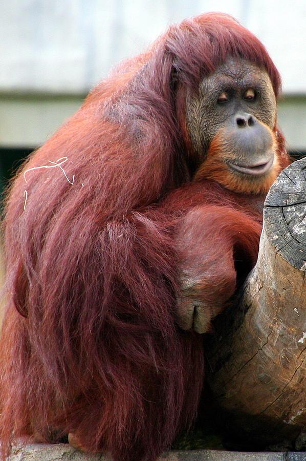 Sumatran Photograph - Sumatran Orangutan by Laurel Talabere