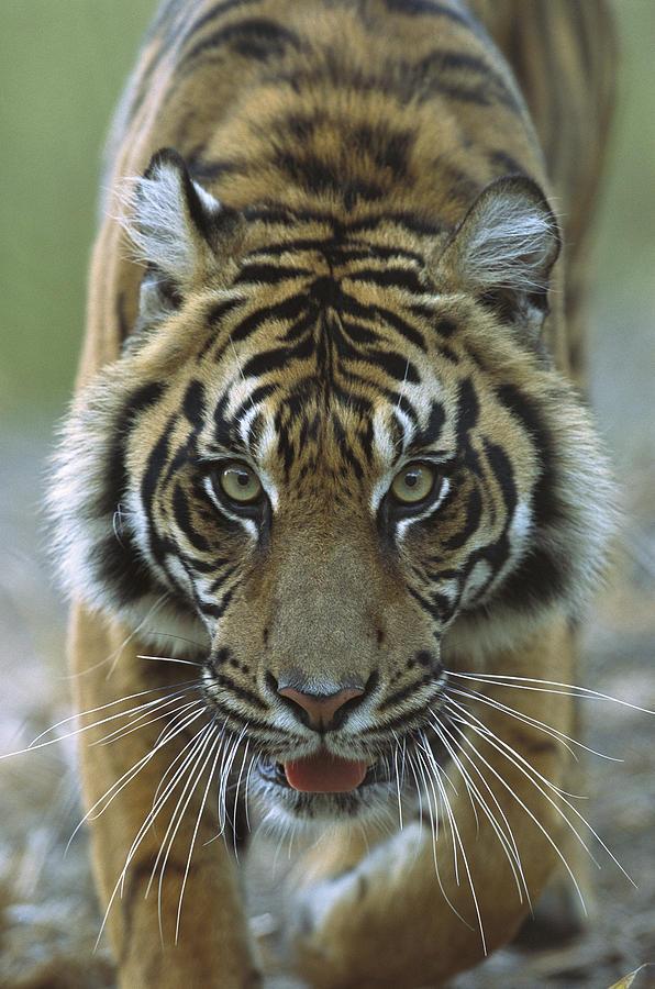 Mp Photograph - Sumatran Tiger Panthera Tigris Sumatrae by Zssd