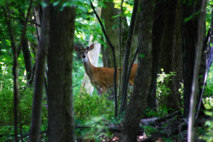 Hovind Photograph - Summer Buck 1 by Scott Hovind
