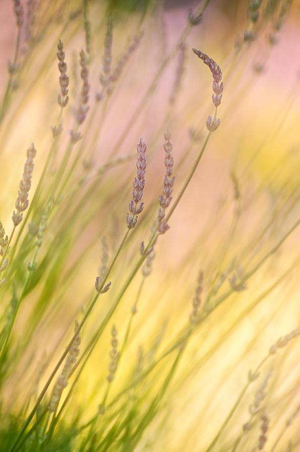 Lavender Photograph - Summer Daydream by Bobbie Climer