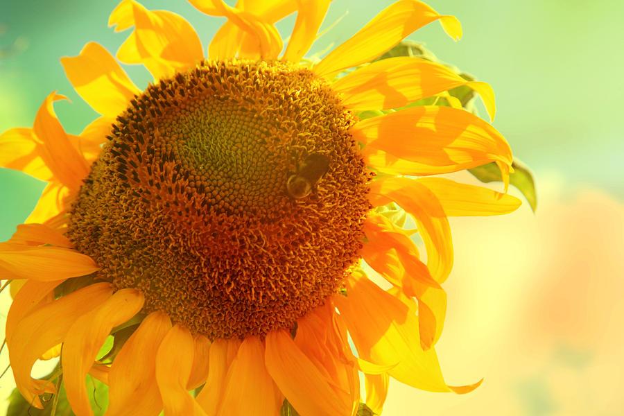 Sunflower Photograph - Summer Daydream by Toni Hopper