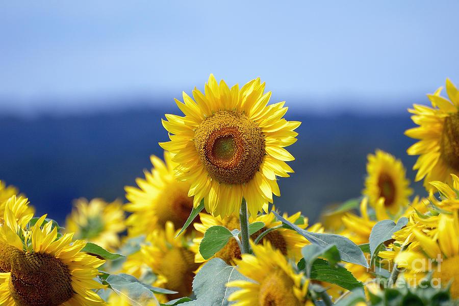 Sunflower Photograph - Summer Gold by Edward Sobuta