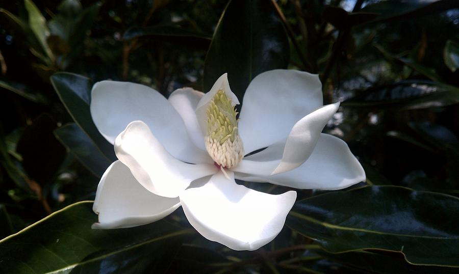 Magnolia Photograph - Summer Magnolia by Jeannette Brown