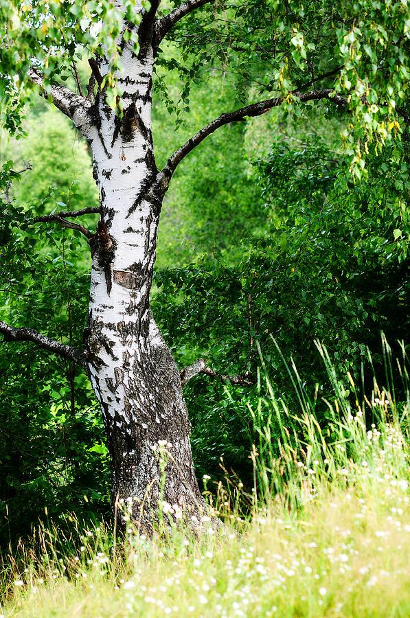 Tree Photograph - Summer Memory by Jenny Rainbow