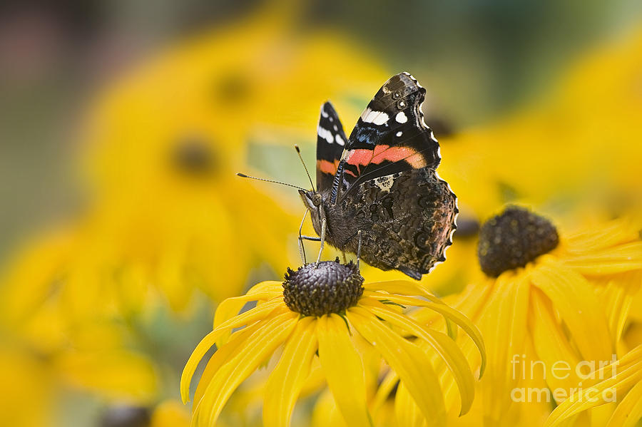 Red Admiral Photograph - Summer Stunner by Jacky Parker