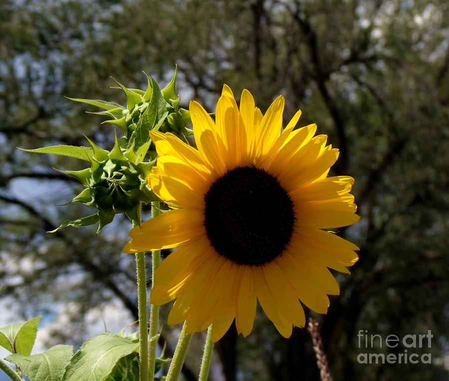 Sunflower Photograph - Summer Sunflower by Donna Parlow