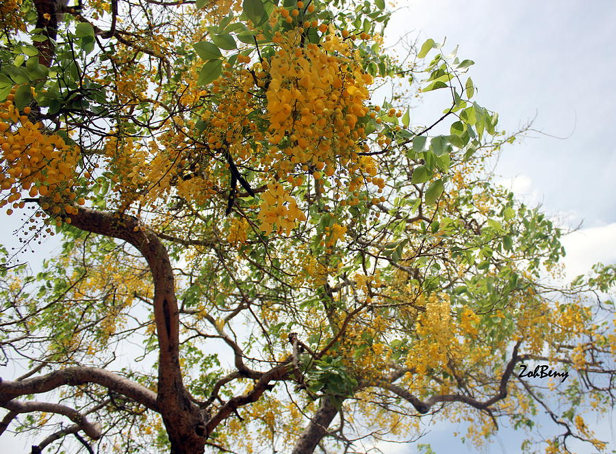 Summer tree with yellow flowers photograph by zoh beny flowers photograph summer tree with yellow flowers by zoh beny mightylinksfo