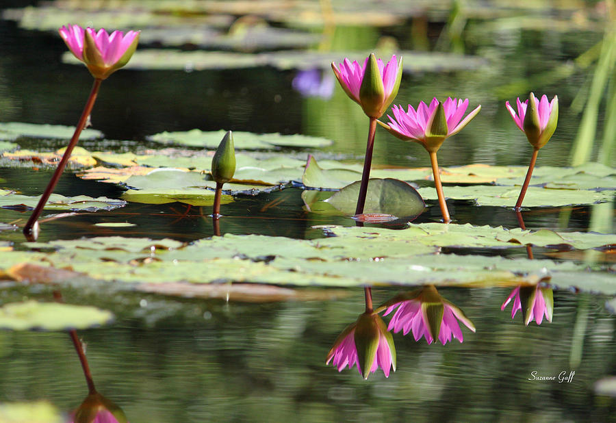 Water Lily Photograph - Summertime Magic by Suzanne Gaff