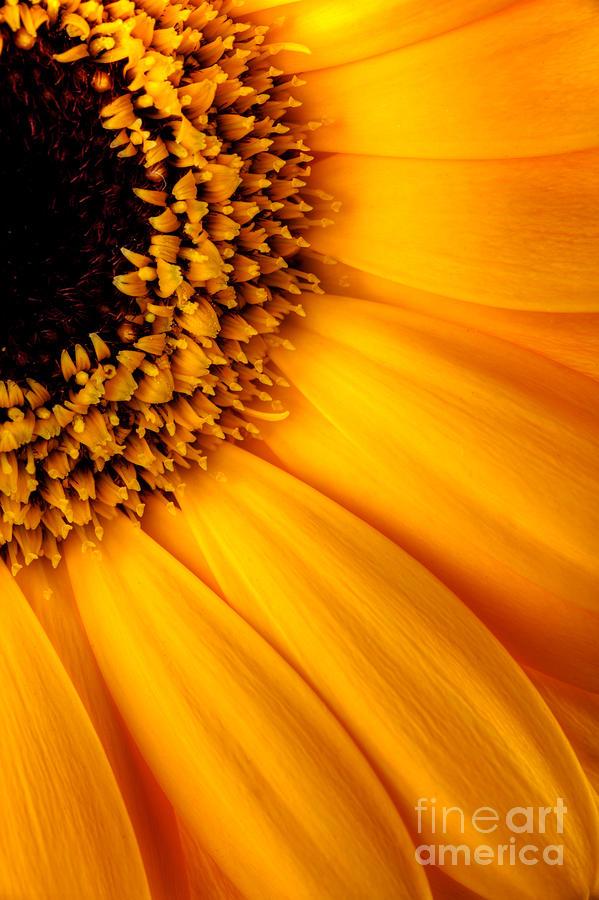 Sunflower Photograph - Sun Burst - Sunflower by Martin Williams