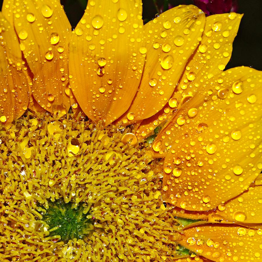 Sun Photograph - Sun Flower by Michelle Armstrong