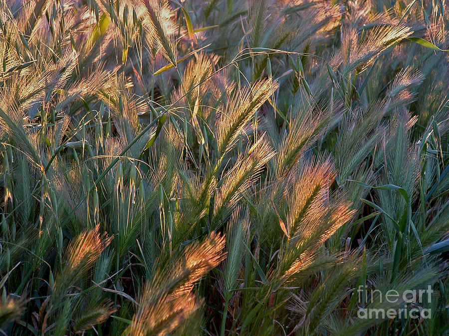 Sun kissed grass by Mary Attard