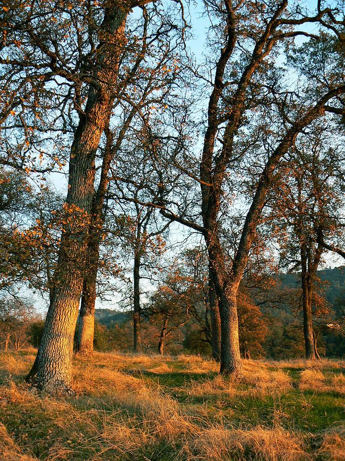 Trees Photograph - Sun Kissed Oaks by Pamela Patch