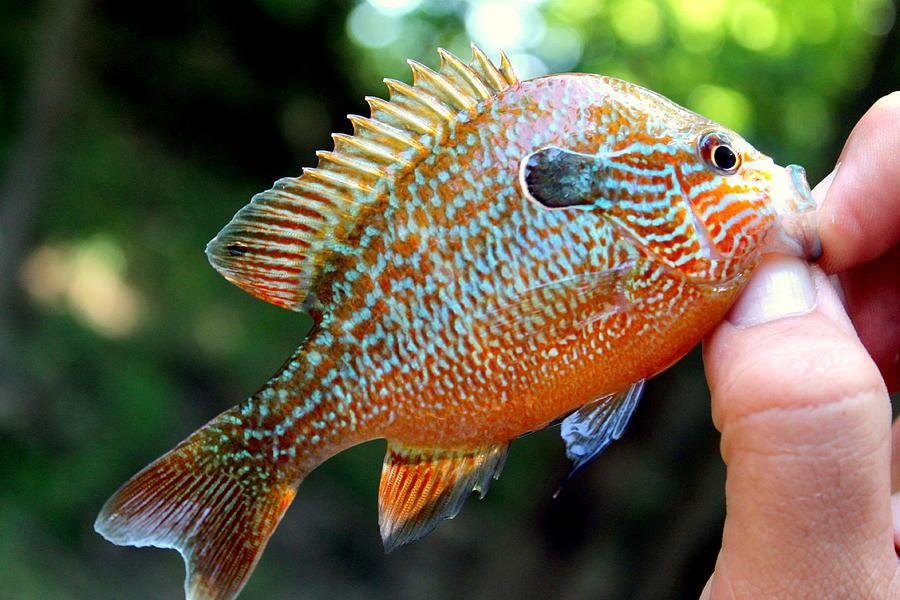 Fish Photograph - Sun Perch by Hannah Miller