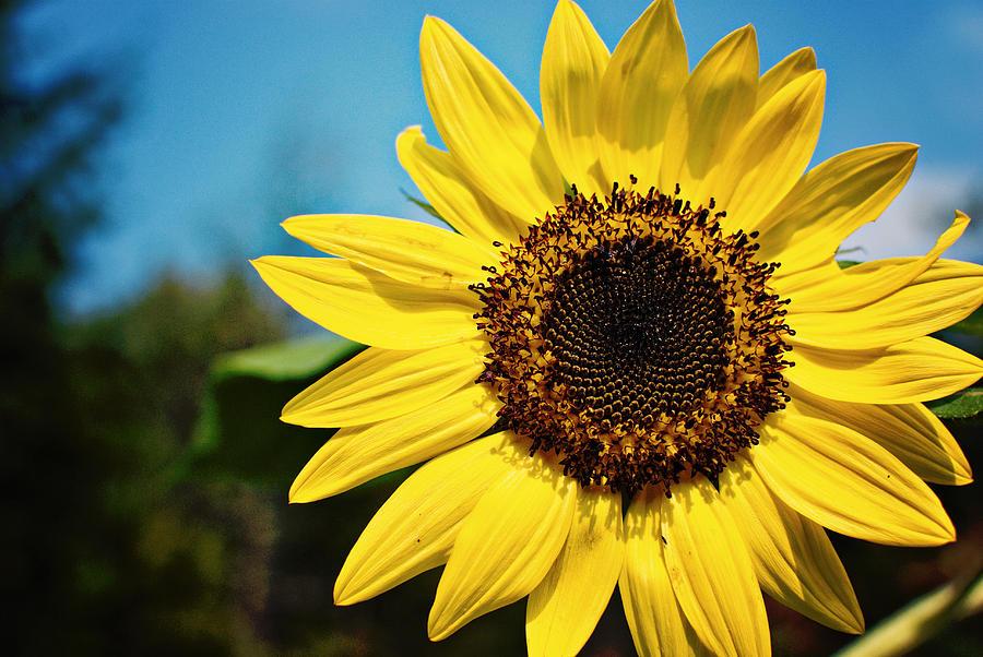 Sunflower Photograph - Sun by Robin Morse