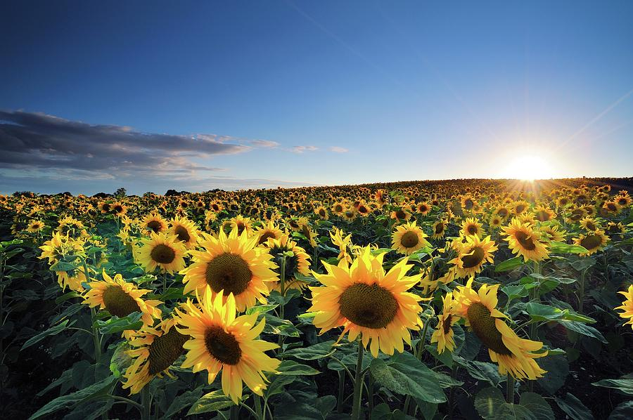 Horizontal Photograph - Sun Setting Over Sunflower Field by Andreas Jones
