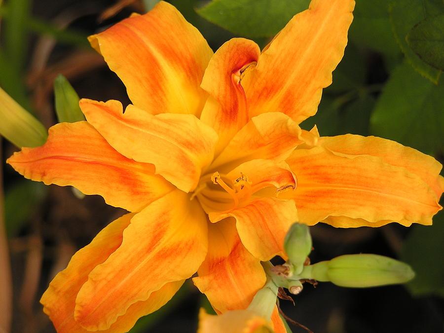 Flower Photograph - Sunburst Lilly by Andrea Drake