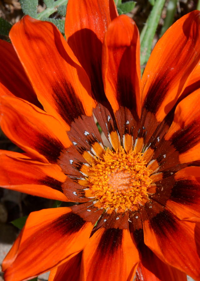 Floral Photograph - Sunburst by Whispering Dove
