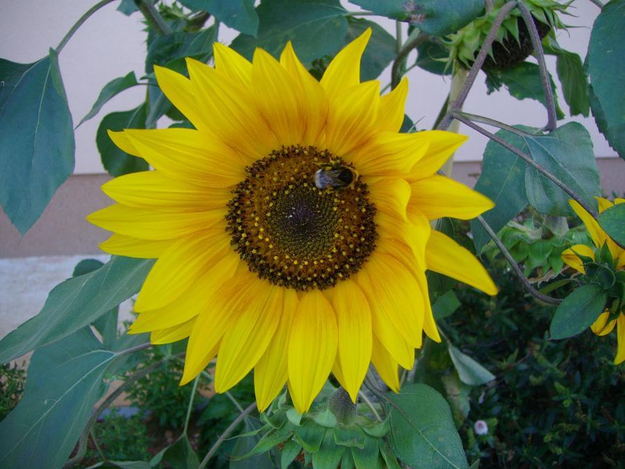 sunflower 1 by Michael Puya