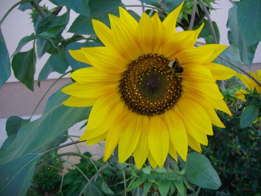 sunflower 2 by Michael Puya