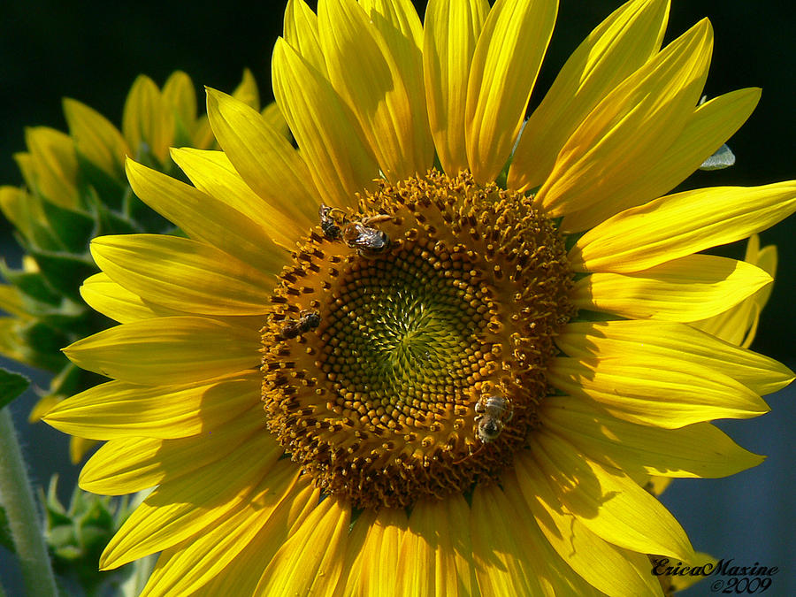 Flower Photograph - Sunflower 4 by EricaMaxine  Price