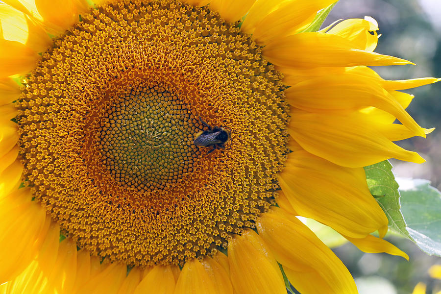 Sunflower Photograph - Sunflower And A Bumblebee by Aleksandr Volkov