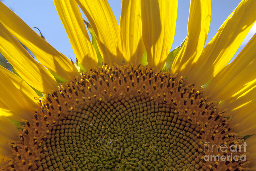 Sunflower Photograph - Sunflower Arch by Darleen Stry