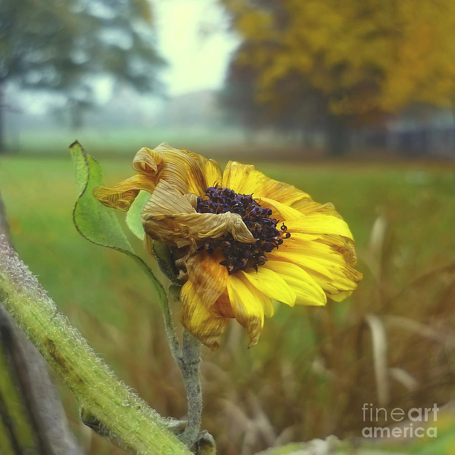Sunflower Photograph - Sunflower At Summers End by Jeff Breiman