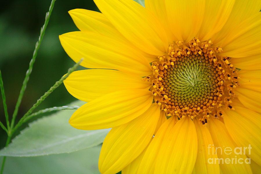 Sunflower Photograph - Sunflower by Bhavesh Chhatbar