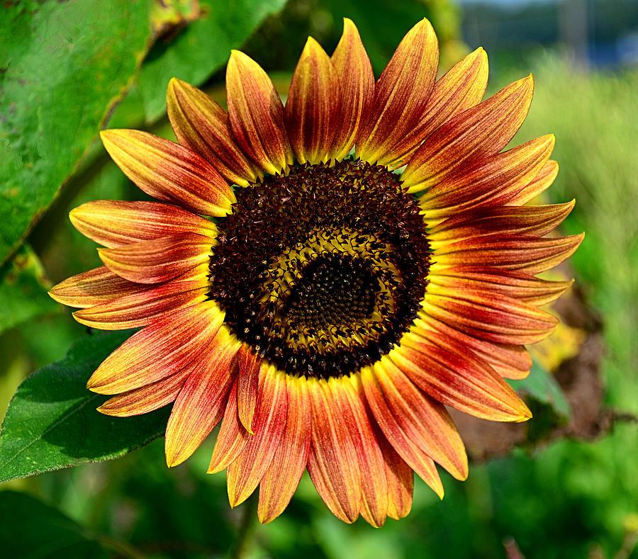 Flower Photograph - Sunflower by Brian Hughes