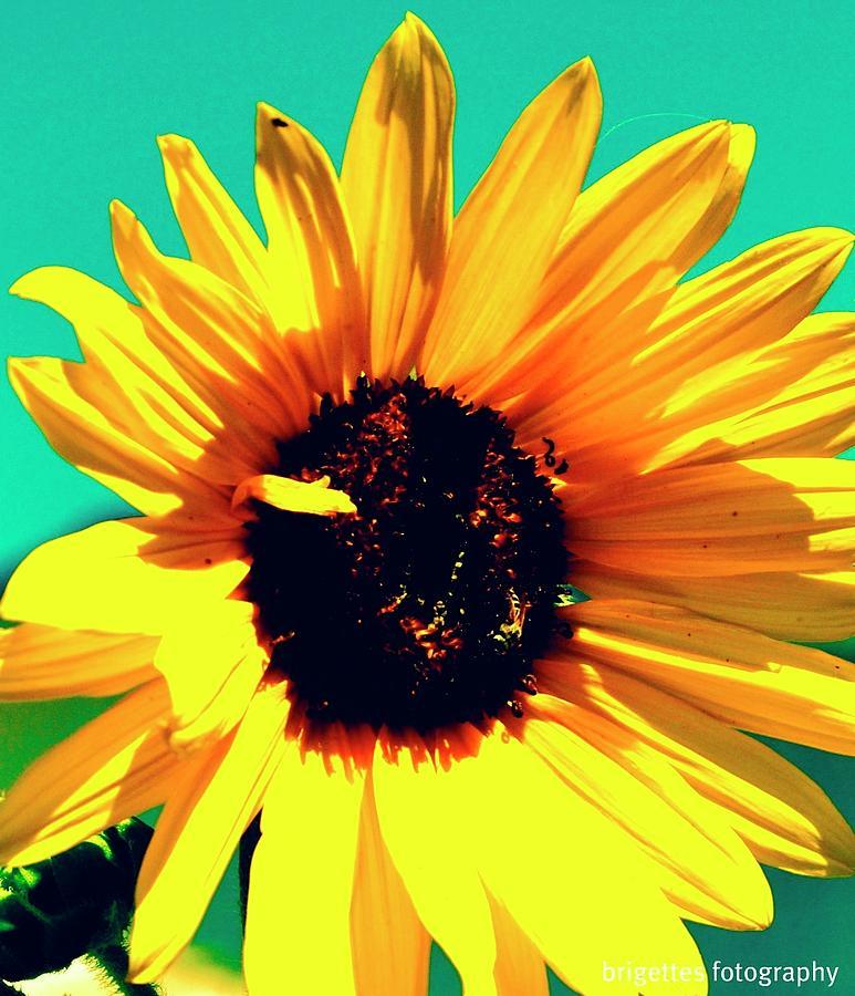Sunflower Photograph - Sunflower by Brigette Hollenbeck