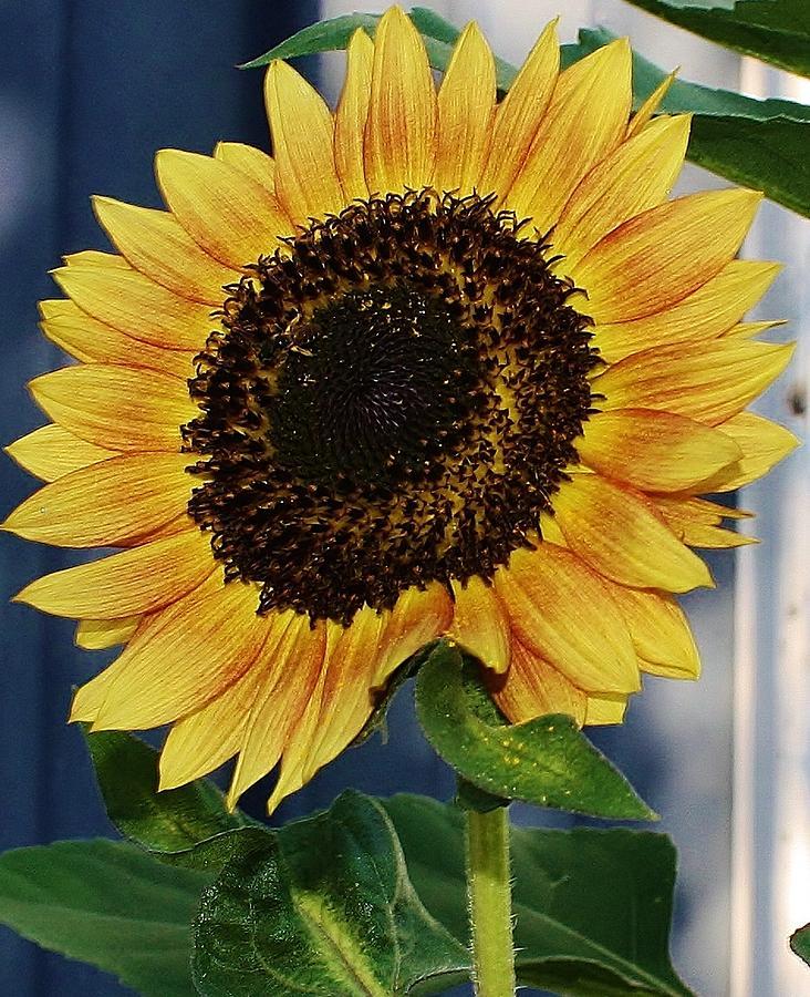 Flora Photograph - Sunflower by Bruce Bley
