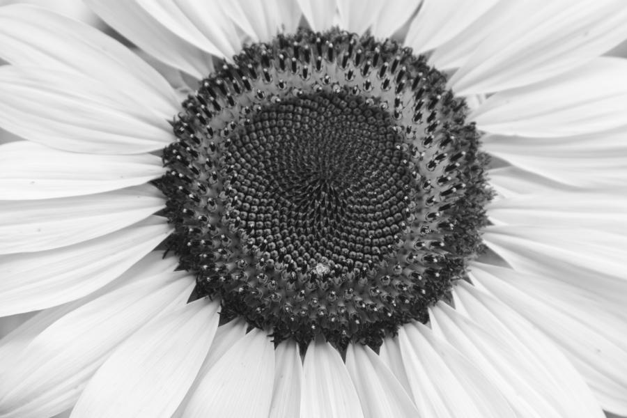 Sunflower Center Black And White Photograph by James BO Insogna