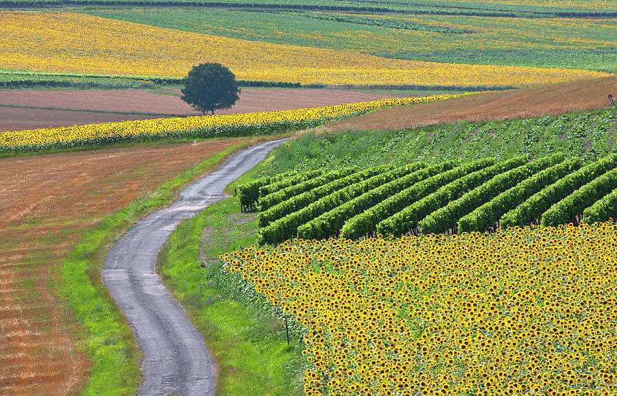 Horizontal Photograph - Sunflower Field And Road by Peter Smith Images