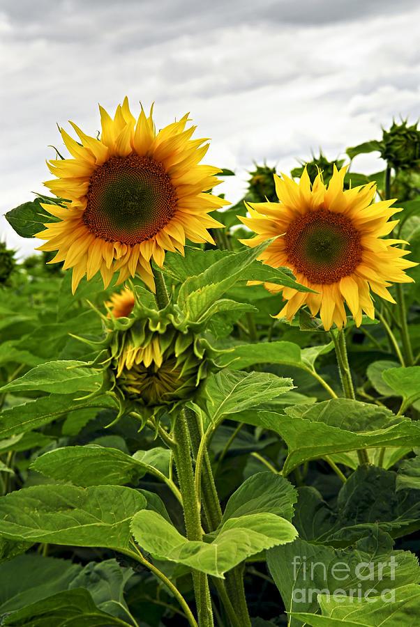 Sunflower Photograph - Sunflower Field by Elena Elisseeva