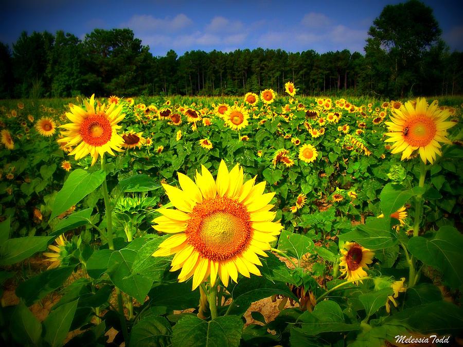 Sunflower Photograph - Sunflower Field by Melessia  Todd