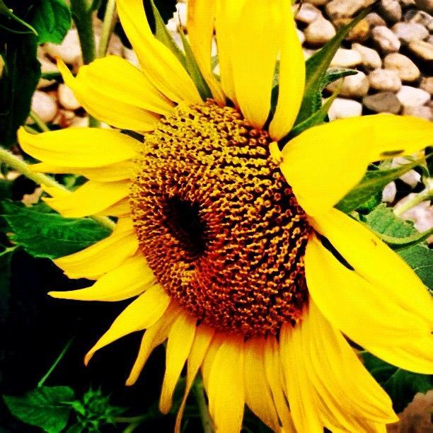 Summer Photograph - #sunflower #flower #sun #yellow #green by Katie Williams