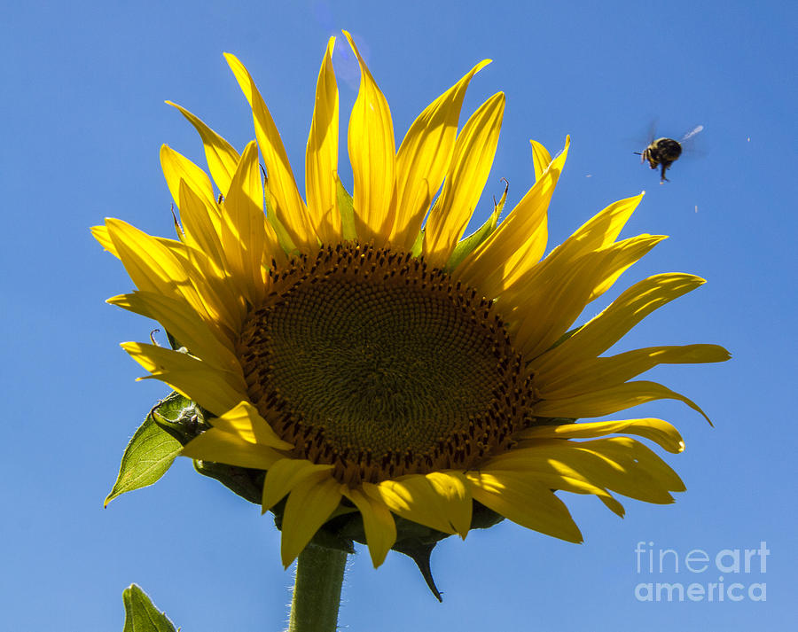 Sunflower Photograph - Sunflower For Snack by Darleen Stry