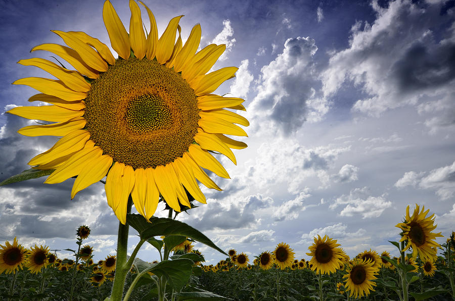 Sunflower Heaven Face Photograph by Joe Lategan