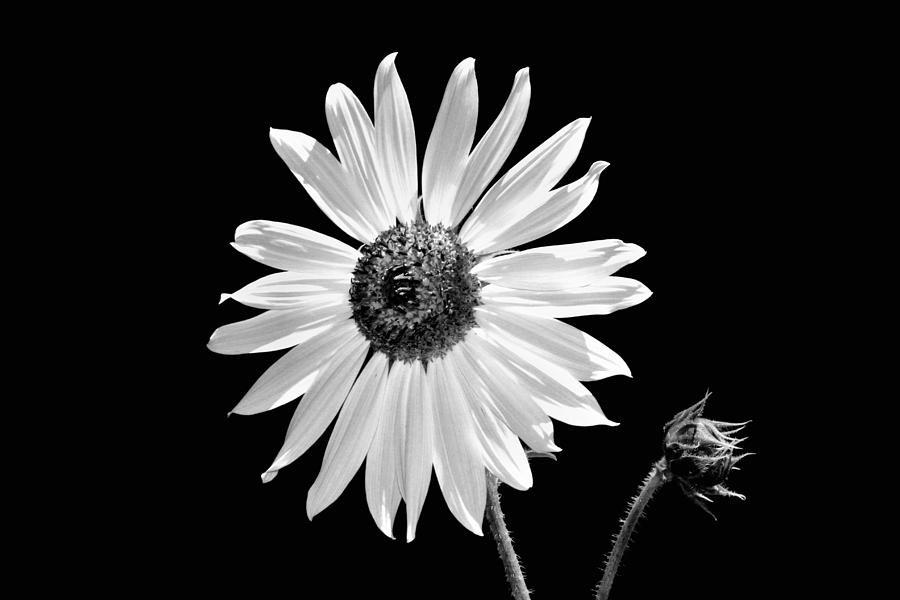 Sunflower photograph sunflower in black and white by tracie kaska