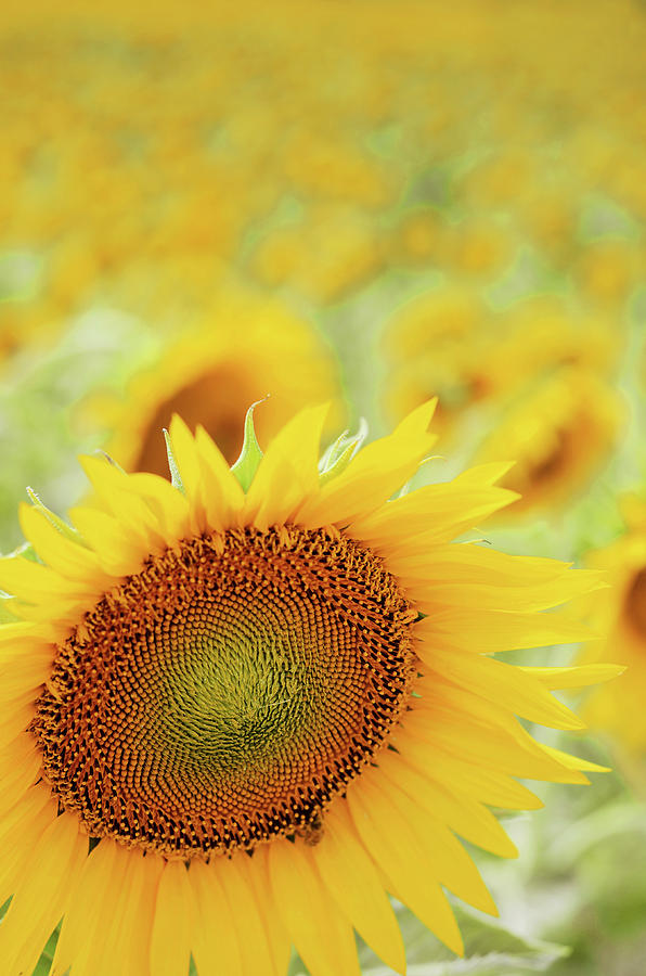 Vertical Photograph - Sunflower In Field by Dhmig Photography