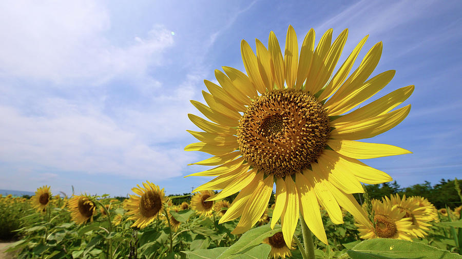 Horizontal Photograph - Sunflower In Summer Bloom by Moonies World