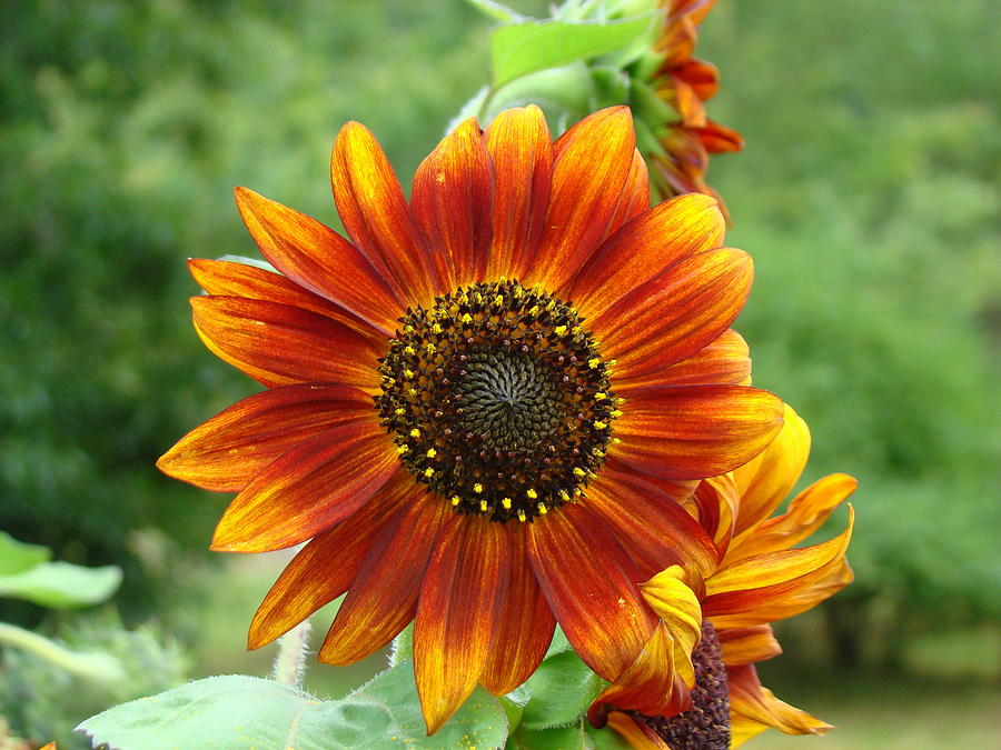 Red Sunflower Photograph - Sunflower by Lisa Rose Musselwhite